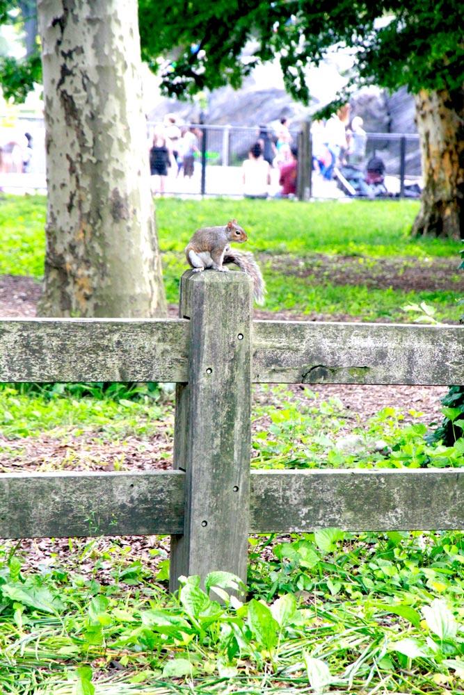 ardilla-en-central-park